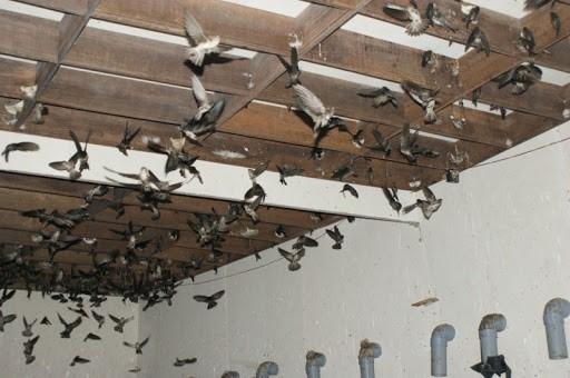 chim yến thích nghi và làm tổ.