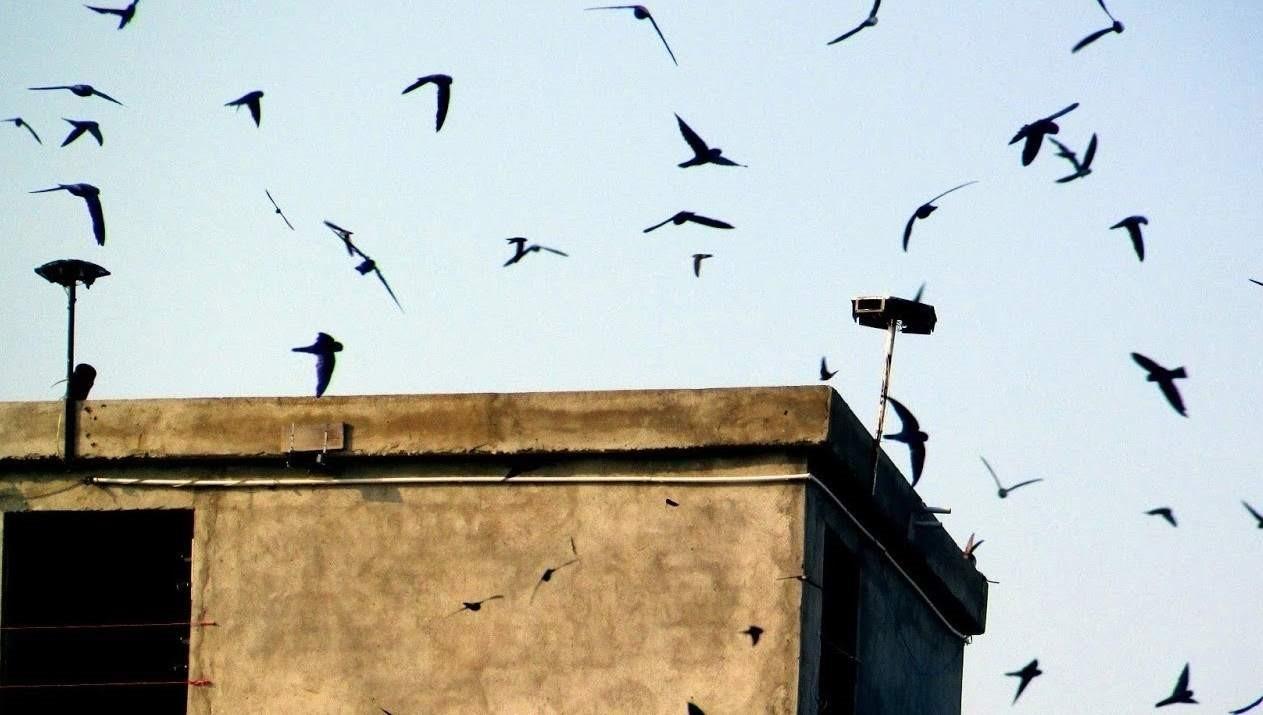 Loa dẫn dụ chim yến